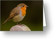 Gabor Pozsgai Greeting Cards - Robin Erythacus rubecula Greeting Card by Gabor Pozsgai