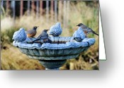 Animal Greeting Cards - Robins On Birdbath Greeting Card by Barbara Rich