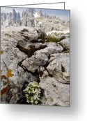 Crevice Greeting Cards - Rock Jasmine (androsace Hausmannii) Greeting Card by Bob Gibbons