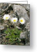 Bellis Greeting Cards - Rock-plant Daisy (bellis Margaraetifolia) Greeting Card by Bob Gibbons
