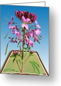 Out Of Frame Greeting Cards - Rocky Mountain Bee Plant Greeting Card by Shane Bechler