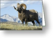 Canadian Rockies Greeting Cards - Rocky Mountain Big Horn Sheep Greeting Card by Bob Christopher
