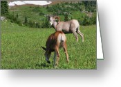 Sheep Greeting Cards - Rocky mountain bighorn sheep ram and mule deer doe Glacier National Park MT Greeting Card by Christine Till