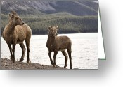 Grow Digital Art Greeting Cards - Rocky Mountain Sheep Greeting Card by Mark Duffy