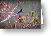 Southern Rocky Mountains Greeting Cards - Rocky Mountain Stellers Jay Greeting Card by Aaron Burrows