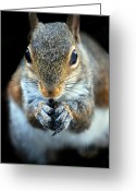 Squirrel Photographs Greeting Cards - Rodent Greeting Card by Skip Willits