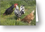 Gallus Gallus Greeting Cards - Rooster With Chickens Greeting Card by Georgette Douwma