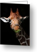 African Giraffes Greeting Cards - Roots n All Greeting Card by Skip Willits