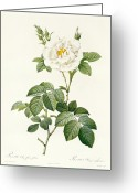 Gardening Drawings Greeting Cards - Rosa Alba flore pleno Greeting Card by Pierre Joseph Redoute