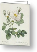 Gardening Drawings Greeting Cards - Rosa Alba Foliacea Greeting Card by Pierre Joseph Redoute