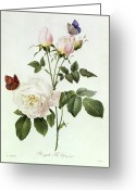 White Greeting Cards - Rosa Bengale the Hymenes Greeting Card by Pierre Joseph Redoute