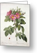 Natural Drawings Greeting Cards - Rosa Carolina Corymbosa Greeting Card by Pierre Joseph Redoute
