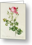 Nature Study Painting Greeting Cards - Rosa Centifolia Bipinnata Greeting Card by Pierre Joseph Redoute