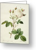 Gardening Drawings Greeting Cards - Rosa Centifolia Mutabilis Greeting Card by Pierre Joseph Redoute