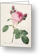 Natural Drawings Greeting Cards - Rosa Centifolia Greeting Card by Pierre Joseph Redoute