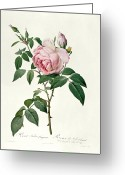 Gardening Drawings Greeting Cards - Rosa chinensis and Rosa gigantea Greeting Card by Joseph Pierre Redoute