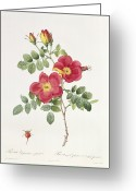 Natural Drawings Greeting Cards - Rosa Eglantera Punicea Greeting Card by Pierre Joseph Redoute