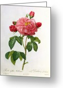 Gardening Drawings Greeting Cards - Rosa Gallica Aurelianensis Greeting Card by Pierre Joseph Redoute