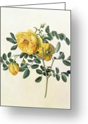 Georg Greeting Cards - Rosa hemispherica Greeting Card by Georg Dionysius Ehret