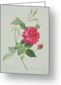 Rosa Chinensis Greeting Cards - Rosa indica cruenta Greeting Card by Pierre Joseph Redoute
