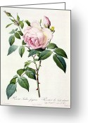 Gardening Drawings Greeting Cards - Rosa Indica Fragrans Greeting Card by Pierre Joseph Redoute