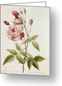 Red Leaves Painting Greeting Cards - Rosa Indica Vulgaris Greeting Card by Pierre Joseph Redoute