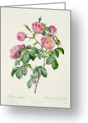 Gardening Drawings Greeting Cards - Rosa Mollissima Greeting Card by Claude Antoine Thory
