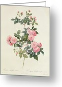 Natural Drawings Greeting Cards - Rosa Multiflora Carnea Greeting Card by Pierre Joseph Redoute