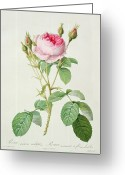 Gardening Drawings Greeting Cards - Rosa muscosa multiplex Greeting Card by Pierre Joseph Redoute