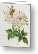 Thorns Greeting Cards - Rosa Noisettiana Greeting Card by Pierre Joseph Redoute