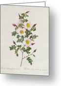 Floral Drawings Greeting Cards - Rosa Pimpinelli Folia Inermis Greeting Card by Pierre Joseph Redoute