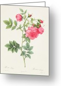 21st Greeting Cards - Rosa Pimpinellifolia Flore Variegato  Greeting Card by Pierre Joseph Redoute