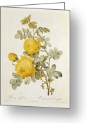 Yellow Drawings Greeting Cards - Rosa Sulfurea Greeting Card by Pierre Redoute