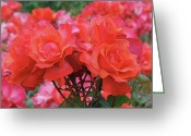 Orange Greeting Cards - Rose Abundance Greeting Card by Rona Black