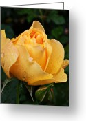 Oregon Art Greeting Cards - Rose after the rain Greeting Card by Cathie Tyler