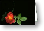 Tamara Stoneburner Greeting Cards - Rose After the Rain Greeting Card by Tamara Stoneburner