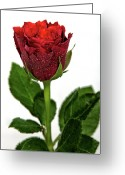 Birmingham Greeting Cards - Rose Against White Background Greeting Card by Photography Philip Appleyard