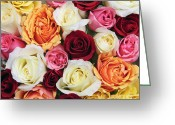 Colorful Roses Greeting Cards - Rose blossoms Greeting Card by Elena Elisseeva