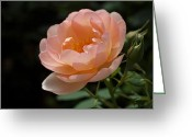 Rosaceae Greeting Cards - Rose Blush Greeting Card by Rona Black