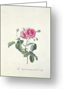 Georg Greeting Cards - Rose Dutch hundred leaved Rose Greeting Card by Georg Dionysius Ehret