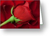 Red Rose Greeting Cards - Rose II Greeting Card by Andreas Freund