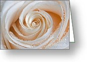 Plant Nursery Greeting Cards - Rose Swirls and Dew Greeting Card by Susan Candelario