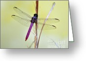 Pink And Purple Greeting Cards - Roseate Skimmer Dragonfly Greeting Card by Al Powell Photography USA