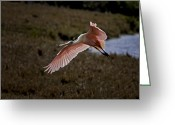 Roseate Spoonbill Greeting Cards - Roseate Spoonbill in Flight - Florida Wading Bird Scenic Photograph Greeting Card by Rob Travis