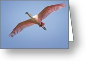 Roseate Spoonbill Greeting Cards - Roseate Spoonbill in Flight Greeting Card by Bonnie Barry