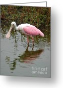 Roseate Spoonbill Greeting Cards - Roseate Spoonbill in Pond Greeting Card by Carol Groenen