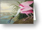 Roseate Spoonbill Greeting Cards - Roseate Spoonbill Greeting Card by John James Audubon
