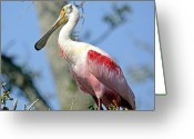 Roseate Spoonbill Greeting Cards - Roseate Spoonbill Greeting Card by Kenneth Albin