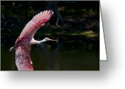 Roseate Spoonbill Greeting Cards - Roseate Spoonbill Greeting Card by Steven Sparks