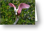 Roseate Spoonbill Greeting Cards - Roseate Spoonbill Wings Spread Greeting Card by Alan Lenk